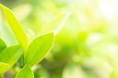 绿色叶子与阳光的早晨在庭院, natrural绿色植物 背景概念的图象用途 图库摄影