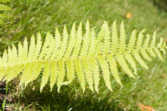 绿色叶子仿造了 免版税库存照片