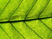 绿色叶子光 库存照片
