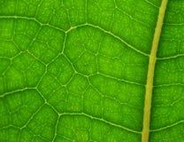 绿色叶子关闭 免版税库存图片