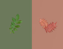 绿色叶子和两片红色秋季叶子在深绿在棕色背景 夏天秋天销售概念 库存照片