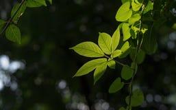 绿色叶子和后面光 免版税库存照片