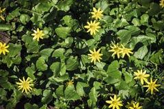绿色叶子和无花果毛茛黄色花活地毯  库存图片