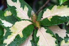 绿色叶子和白色颜色在中心和白色的形状是杂色的形式 库存图片