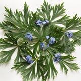 绿色叶子和蓝色花在白色背景 与拷贝空间的顶视图 查出 免版税库存图片