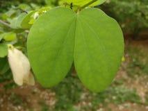 绿色叶子喜欢heart& x27; 免版税库存图片