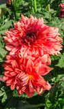 绿色叶子围拢的两朵大菊花花在庭院里增长 库存图片