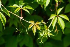 绿色叶子在明亮的阳光下 库存图片