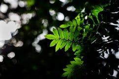 绿色叶子在森林里 免版税图库摄影