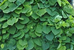 绿色叶子墙壁的照片  图库摄影
