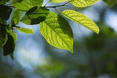 绿色叶子宏观照片有叶子和天空被弄脏的青绿的背景  库存照片