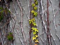 绿色叶子对灰色板岩墙壁 免版税库存图片