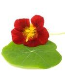 绿色叶子旱金莲属植物 库存图片