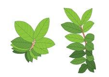 绿色叶子是在白色背景的花束 皇族释放例证