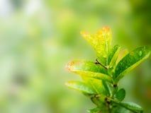 绿色叶子有被弄脏的自然本底在庭院里 免版税库存图片