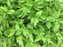 绿色叶子有雨被投下的背景 免版税库存图片