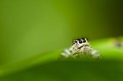 绿色叶子本质蜘蛛 图库摄影