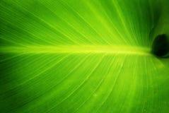 绿色叶子本质 库存图片