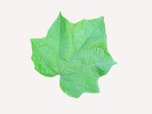 绿色叶子槭树 免版税库存图片