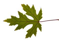 绿色叶子槭树 免版税库存照片