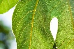绿色叶子特写镜头 无花果树 免版税库存图片