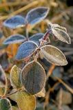 绿色叶子玫瑰色冬天 免版税库存照片