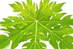 绿色叶子番木瓜叶子 免版税库存图片