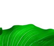 绿色叶子白色 免版税库存图片