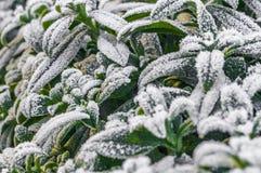 绿色叶子的弗罗斯特在早期的冬天 免版税库存照片