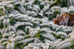 绿色叶子的弗罗斯特在早期的冬天 免版税库存图片
