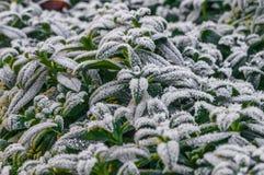 绿色叶子的弗罗斯特在早期的冬天 库存照片