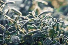 绿色叶子的弗罗斯特在早期的冬天 免版税图库摄影
