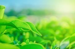 绿色叶子的本质墙纸或背景的 库存图片