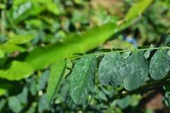 绿色叶子纹理和照片在热带气候的 库存照片