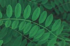 绿色叶子纹理或背景 shoted的常绿植物紧密  Ceative布局 平的位置 免版税库存图片
