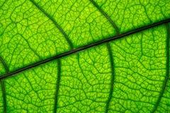 绿色叶子纹理的宏观图片 图库摄影