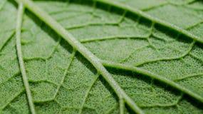绿色叶子纹理细节宏指令  免版税库存图片