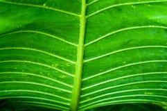 绿色叶子纹理芋头叶子 库存照片