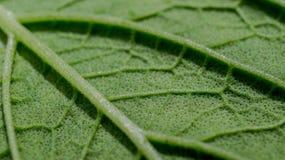 绿色叶子纹理详细的宏指令  图库摄影