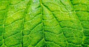 绿色叶子纹理详细的宏指令  免版税库存图片