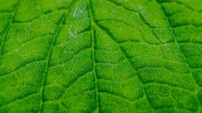 绿色叶子纹理详细的宏指令  免版税图库摄影