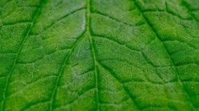 绿色叶子纹理详细的宏指令  免版税库存照片