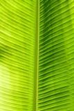 绿色叶子纹理 免版税库存照片