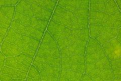 绿色叶子结构树 免版税图库摄影