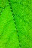 绿色叶子结构 库存照片