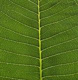 绿色叶子胞状结构背景,自然在绿色叶子-宏观射击,纹理的设计纹理 库存照片