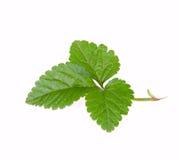 绿色叶子草莓 免版税图库摄影