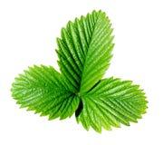 绿色叶子草莓 免版税库存图片
