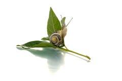 绿色叶子蜗牛 免版税库存照片