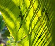 绿色叶子蜥蜴剪影 免版税图库摄影
